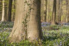 Beech tree trunk Stock Image