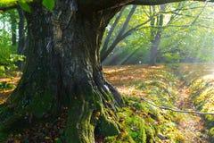 Massive beech tree Stock Image