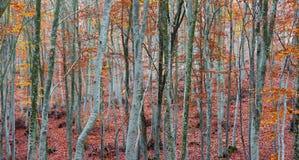 Beech tree trunks Royalty Free Stock Image