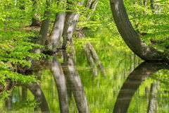 Beech tree trunks with water in spring forest Stock Photo