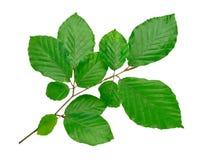 Beech tree twig Stock Image