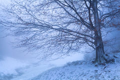 Beech tree in winter foggy morning Stock Images