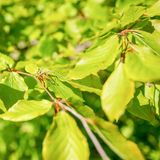 Beech tree with young leaves. Stock Images