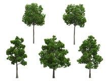 Beech trees Stock Photography