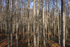 Beech trees. A group of beech trees in a sunny winter day Royalty Free Stock Image