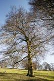 Beech trees aDisley, Stockport, Darbyshire Englandgainst blue sky Lyme Park. Beech trees a Disley, Stockport, Darbyshire Englandgainst blue sky Lyme Park Royalty Free Stock Photos