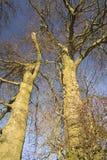Beech trees aDisley, Stockport, Darbyshire Englandgainst blue sky Lyme Park. Beech trees a Disley, Stockport, Darbyshire Englandgainst blue sky Lyme Park Stock Photo