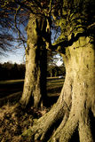 Beech trees aDisley, Stockport, Darbyshire Englandgainst blue sky Lyme Park. Beech trees a Disley, Stockport, Darbyshire Englandgainst blue sky Lyme Park Stock Photos