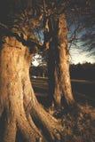 Beech trees aDisley, Stockport, Darbyshire Englandgainst blue sky Lyme Park. Beech trees a Disley, Stockport, Darbyshire Englandgainst blue sky Lyme Park Royalty Free Stock Images