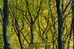 Beech Trees Autum Stock Image