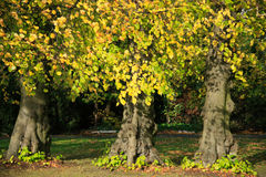 Beech Trees In Autumn Royalty Free Stock Images