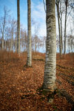 Beech trees in autumn day Royalty Free Stock Image