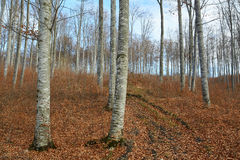 Beech trees in autumn day Stock Photography