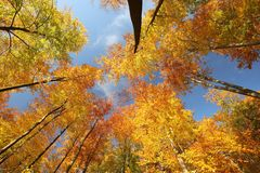 Beech trees in an autumn forest against the blue sky royalty free stock photography