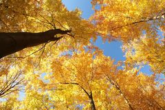 Beech trees in an autumn forest against the blue sky royalty free stock photo