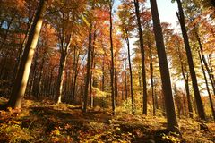 Beech trees in an autumn forest during sunrise royalty free stock photos