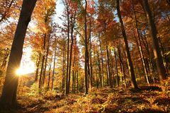Beech trees in an autumn forest during sunrise