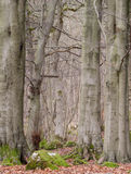 Beech trees and autumn leaves. Beech tree trunks in an english wood Royalty Free Stock Image