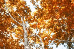 Beech trees in autumn season, beautiful beech trees with colorfu Royalty Free Stock Images