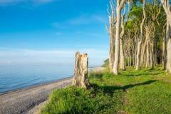 Beech trees at the Baltic Sea Stock Photos