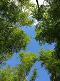 Blue skies through beech treetops at spring Royalty Free Stock Photography