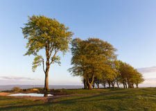 Beech trees Stock Photos