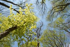 Beech trees crowns in early spring Royalty Free Stock Images