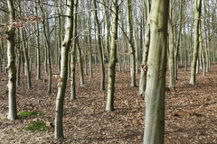 Beech trees. Royalty Free Stock Photos