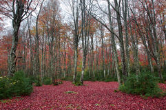 Beech trees in the forest. Rainy autumn day Stock Photography