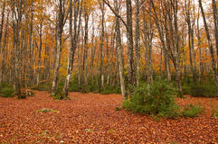 Beech trees in the forest. Rainy autumn day Stock Image