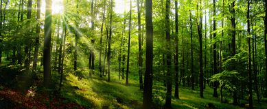 Beech trees forest at spring daylight. Sunrays, green leafs, broad leaf trees. Relaxing nature,sushine. Panoramic photo. Czech Republic, Europe,Creative stock images