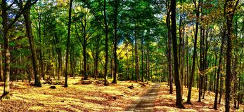 Beech trees forest/woodland with gravel road at autumn afternoon daylight. Broad leaf trees,forest floor,foliage, green leafs.HDR panoramic photo. Red, yellow royalty free stock image