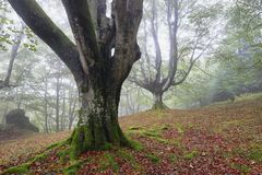Beech trees in Gorbea Natural Park, Basque Country. Spain royalty free stock images