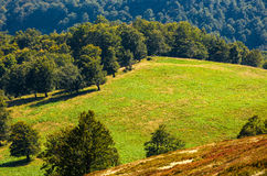 Beech trees on hillside meadow in autumn. Beech trees on hillside meadow. beautiful natural background in autumnal fine weather Royalty Free Stock Photos
