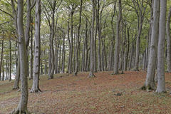 Beech trees. Image of beech trees taken in Sharpenhoe clappers, Sharpenhoe, Bedfordshire, england Stock Photography