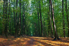 Beech trees and leaves in the woods in autumn Royalty Free Stock Image