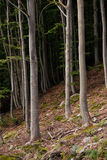 Beech trees on a mountainside. Beech tree, trunk view, growning on the side of a mountain, forest floor in foreground Royalty Free Stock Images