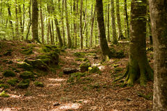 Beech trees Royalty Free Stock Image