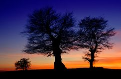 Beech trees at sunset Stock Image