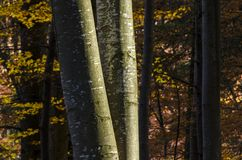 Beech trees trunks in autumn. With blurred background, in Transylvania`s mountains, in Romania Stock Photo