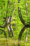 Beech tree trunks with stream in spring forest. Beech trees with water in spring forest Royalty Free Stock Image