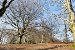 Beech trees in winter Stock Photo