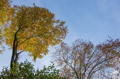 Beech treetop against the sky Royalty Free Stock Photo
