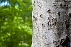 Beech trunk. Closeup of beech tree trunk with sunlit green foliage out of focus in the background Royalty Free Stock Image