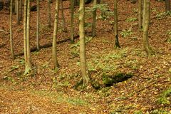 Beech trunks in autumn Royalty Free Stock Photography