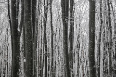 Beech winter forest Royalty Free Stock Photography
