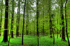 Beech wood Royalty Free Stock Photos