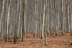 Beech wood Stock Photos