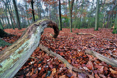 Beech wood Stock Images