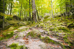 Beech wood Royalty Free Stock Photo